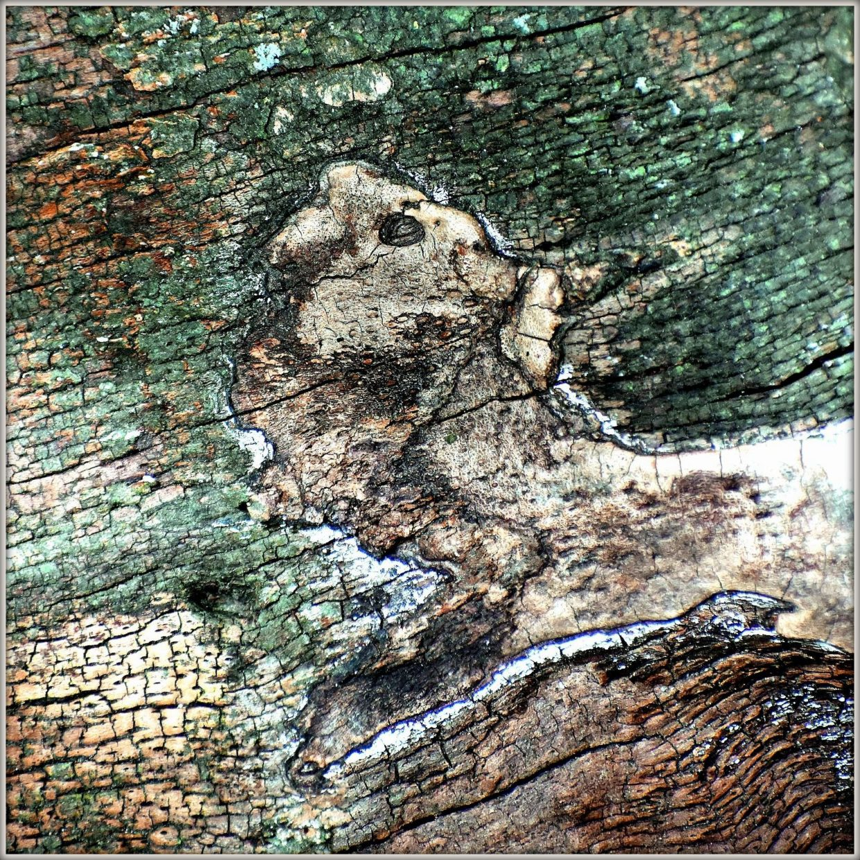 tree bark with pareidolia showing a face. Colors green, brown and beige.